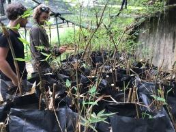 Replanting sapling trees